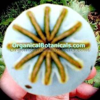 Tasmanian Somniferum Poppy Seed Pod