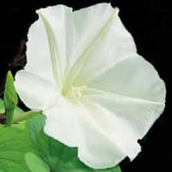 GIANT WHITE MOONFLOWER SEEDS - IPOMOEA ALBA
