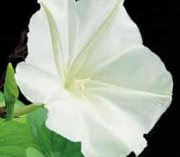 GIANT WHITE MOONFLOWER SEEDS - IPOMOEA ALBA