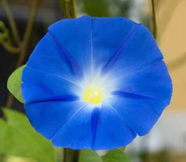 Heavenly blue Morning glory seeds IPOMOEA tricolor