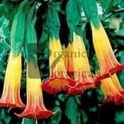 RED ANGEL TRUMPET Brugmansia sanguenea