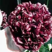 Black Cloud Peony Somniferum Poppy