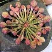 Sarracenia-Psittacina-2-519.jpg