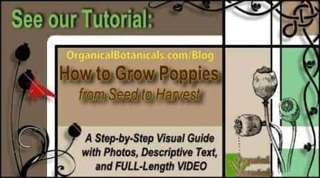 How to Grow Papaver Somniferum Opium Poppy Seeds in 5 Stages