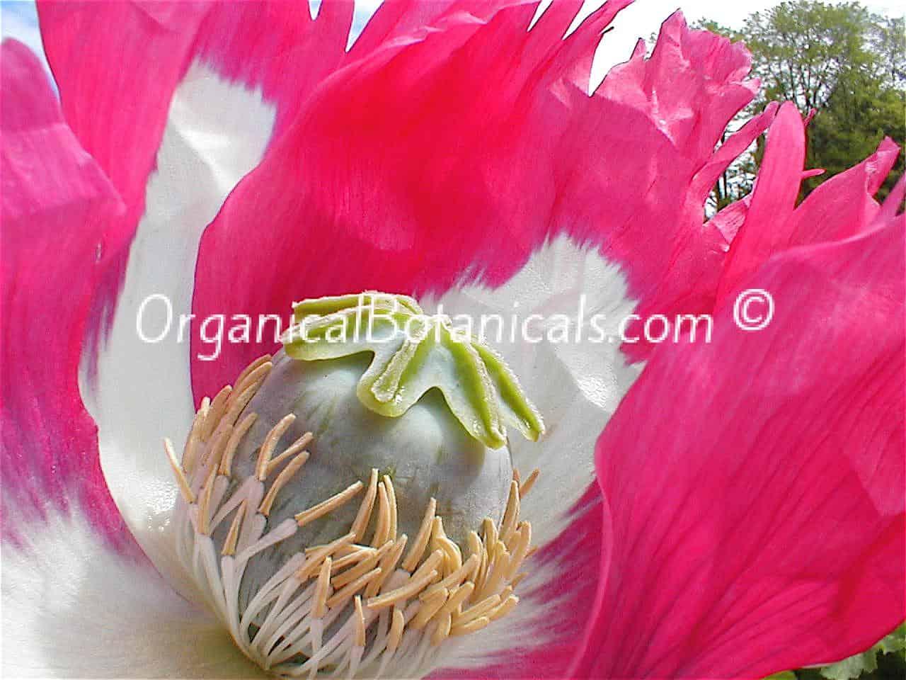 Afghan GMO Super Opium Poppy Pod comparison