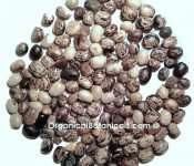 Velvet Bean Mucuna Pruriens L-Dopa