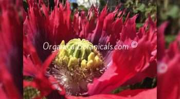 Hens 'n' Chicks Poppies Papaver Somniferum Poppy