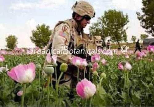 Izmir Afghan Papaver Somniferum Opium Poppy Flowers and Pods