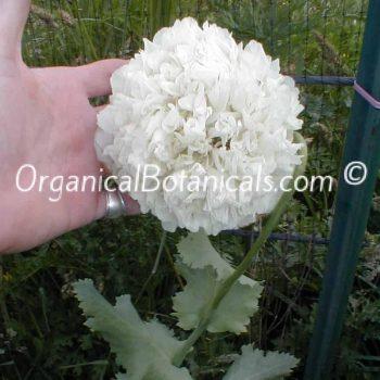 White Cloud Somniferum Peony Poppy Flower