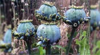 Hens 'n' Chicks Poppies Papaver Somniferum Poppy Pods