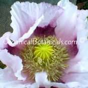 Izmir Tasmanian Somniferum Poppy Flower